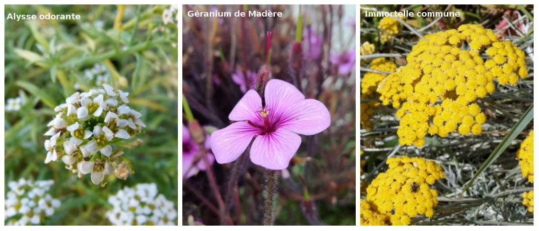 Flore Ile de Batz