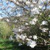 nouvelle-variete-de-magnolia-2