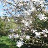 nouvelle-variete-de-magnolia