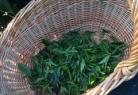 Récolte de feuilles de thé à Sibiril !