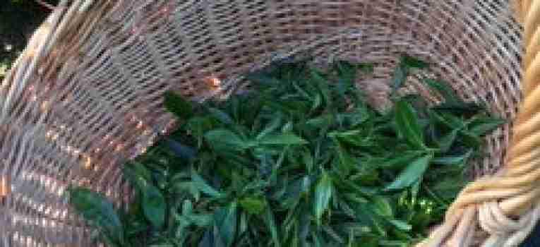 récolte thé
