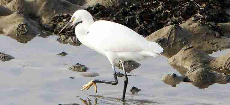 Aigrette sortie ornithologique st-pol